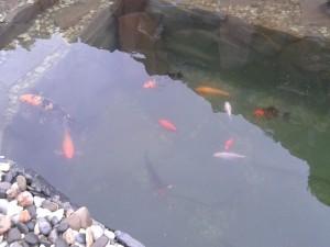 водойма-з-рибами-(-короп-Кої)